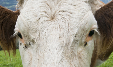 White head of cow with eyes and lashes and serveral flies in meadow in Switserland. Stock Photo