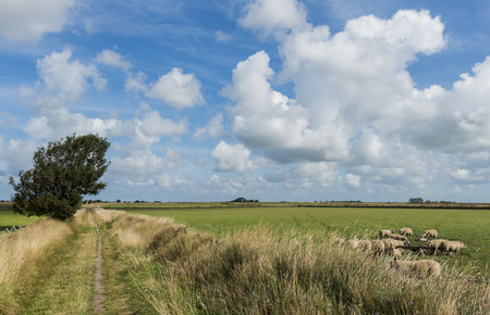 woll: Small hiking path between meadows an sheep on the isle of Texel.