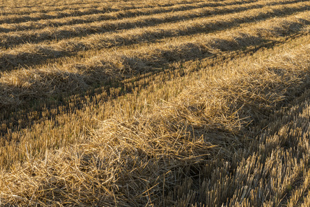 thresh: Lines of straw on a grain field. Stock Photo