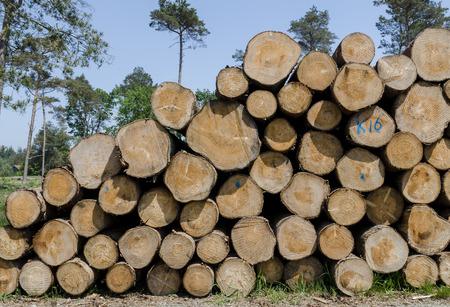 pinus sylvestris: A big pile of logs in a forest of Pinus sylvestris.