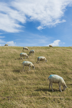 dike: Several sheep on a dike on the isle of Texel.