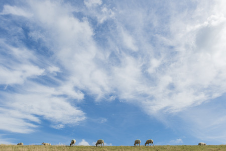 woll: Several sheep on a dike on the isle of Texel.