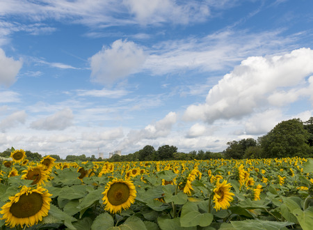 nuclear power plant: Sunflower field in France with a blue sky and white clouds. In the background a Nuclear Power Plant.