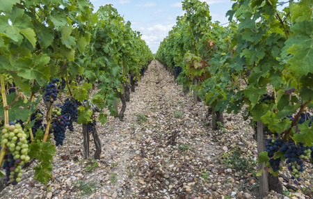 Vinyard in Saint Julien in Medoc, France with red blue grapes, leaves and silicious earth. 스톡 콘텐츠