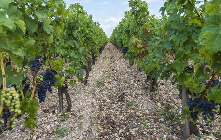 Vinyard in Saint Julien in Medoc, Frankrijk met rode blauwe druiven, bladeren en kiezelhoudende aarde.