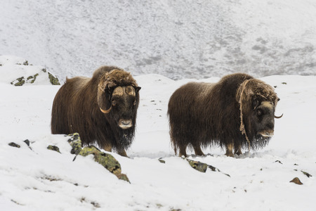 Two Muskox in the snow in National Park Dovrefjell in Norway.