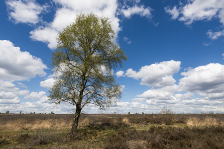 ericaceae: Birch at the Ginkelse Heide near Ede in springtime with clouds.