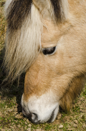 Head of Fjord horse grazing. photo