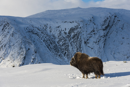 bushy plant: Muskox in the snow in National Park Dovrefjell in Norway. Stock Photo