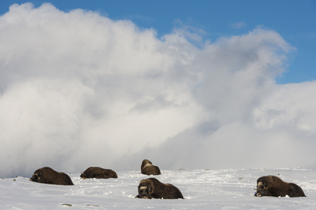 bushy plant: Five Muskox in the snow in National Park Dovrefjell in Norway. Stock Photo