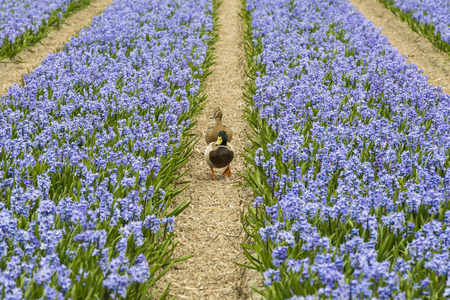 two ducks: Rows of Violet Hyacith near Lisse and the Keukenhof with two ducks.