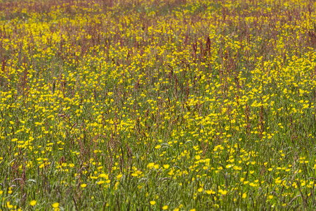 lemmer: Meadow with Buttercup Ranunculus and Rumex in Friesland province near Lemmer The Netherlands image Daan Kloeg Commee Stock Photo