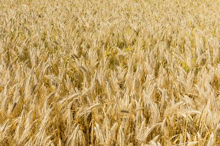 Barley field in the sun. 스톡 콘텐츠