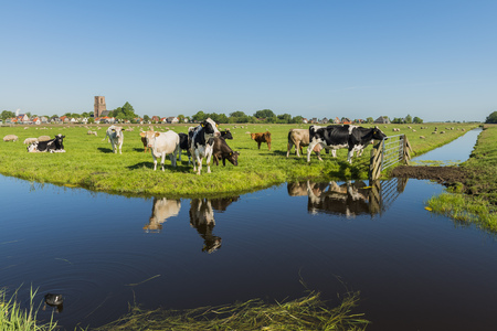 ditch: View on Ransdorp with Cows, Church and Ditch.
