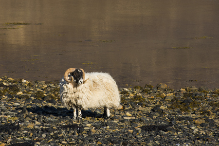 ovine: Sheep on the Isle of Skye with at the shore of the ocean in Scotland.