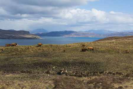 skye: Cows on the Isle of Skye with ocean, clouds and mountains. Stock Photo