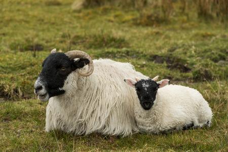 skye: Black and white sheep with lamb on the Isle of Skye in Scotland. Stock Photo