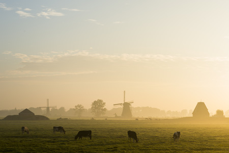 wind mill: Peaceful yellow sunrise with wind mill, cows, fog in Streefkerk, Holland.
