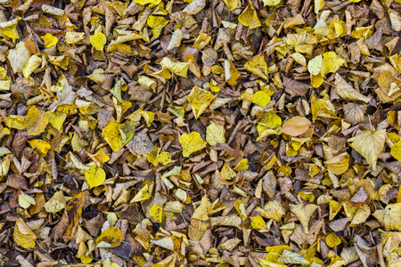 tilia: Yellow and brown leaves linden Tilia cordata on the ground.