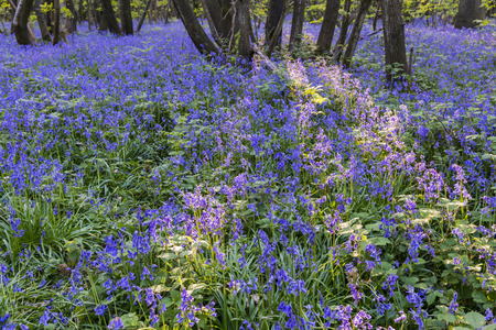 bluebells: Bluebells in wood with evening light in Kings Wood, Maidstone