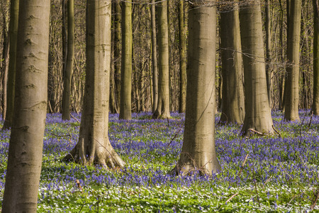 stamens: Hallerbos in spring in Belgium with beech trees and purple bluebells.