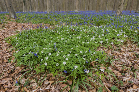 bluebell: Hallerbos in spring in Belgium with beech trees, dead tree and purple bluebells.