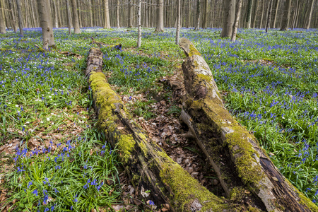 Hallerbos in spring in Belgium with beech trees, dead tree and purple bluebells.