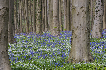 Hallerbos in spring in Belgium with beech trees, Wood Anemone and purple bluebells. Stock Photo