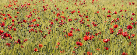 poppy field: Orange poppy flowers in grain field.