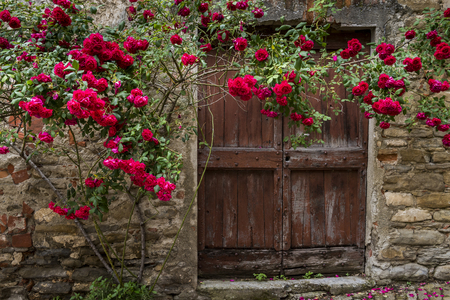 Red roses and old wooden door in Mombaldone in Piedmont, Italy.