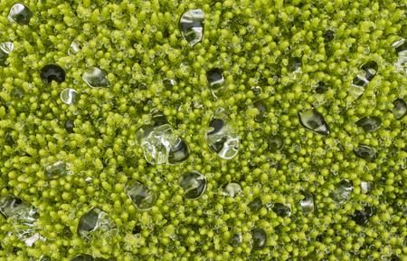 waterdrops: Waterdrops on moss on Iceland.