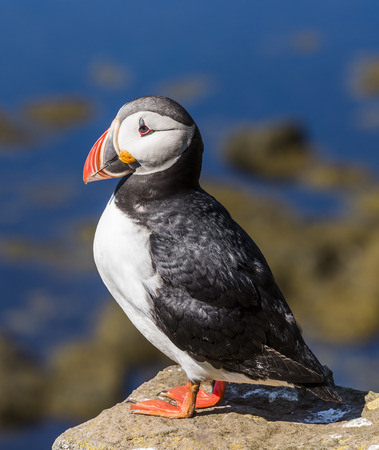 Puffin on Iceland resting on a rock above sea.
