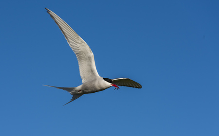 Flying Arctic Tern against a blue sky.