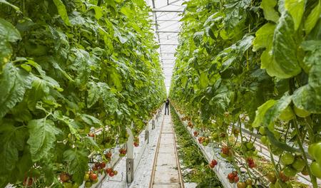 Harmelen, Nederland - 3 April, 2017: Installaties van de arbeiders de bindende tomaat in tomatenkinderdagverblijf met rood en groen fruit in een glasserre.