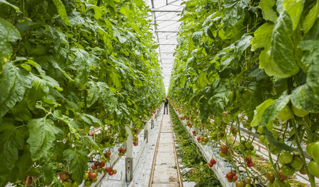 Harmelen, The Netherlands - April 3, 2017: Worker binding tomato plants in tomato nursery with red and green fruit in a glass greenhouse.