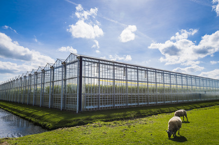 Great tomato nursery and greenhouse in Harmelen with sheep and summer sky.