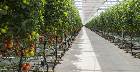 Harmelen, Netherlands - May 23, 2017: Large tomato greenhouse with ripe tomatoes. Editorial