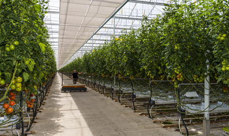 Harmelen, Netherlands - May 23, 2017: Large tomato greenhouse with ripe tomatoes and worker. Editorial
