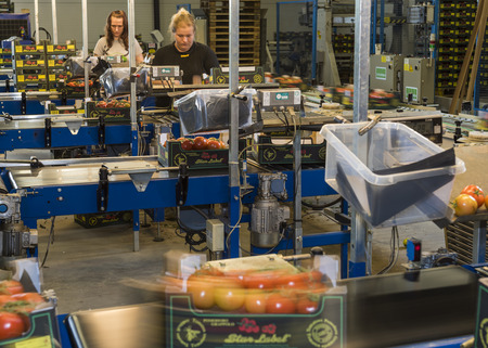 Harmelen, Netherlands - May 23, 2017: Tomatoes stockroom with workers at conveyor belt in greenhouse for production of tomatoes.