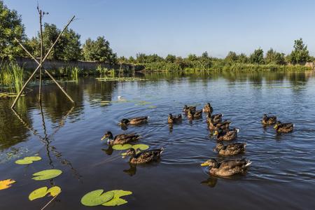 国内アヒル湖とほかのアヒルたち、ヒートホールン、オーファーアイセル州、オランダをキャッチするためのケージ 写真素材