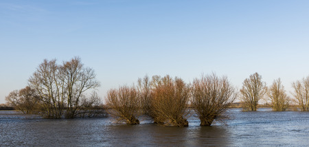 Flood plains at the river IJssel near Zutphen in Gelderland with Pollard willows in the water.