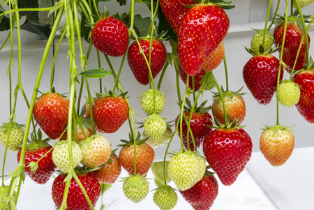 Ripe, red and juicy strawberries in a greenhouse.