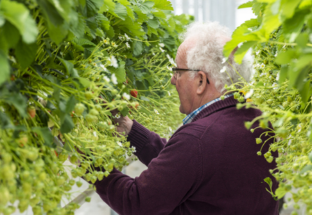 s-Gravenzande, The Netherlands - April 24, 2018: Male picker in Strawberry Greenhouse with ripe strawberries.
