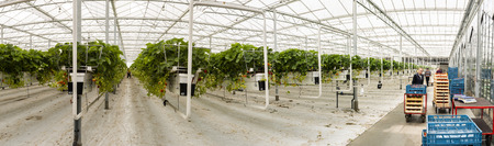 s-Gravenzande, The Netherlands - April 24, 2018: Strawberry Greenhouse with rows of ripe strawberries, strawberry flowers and with  workers.