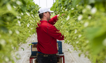 s-Gravenzande, The Netherlands - April 24, 2018: Male worker at a strawberry Greenhouse with rows of ripe strawberries and strawberry flowers. Editorial
