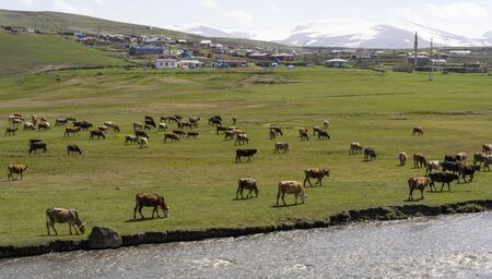Otbicen, Turkey - May 9, 2019: Herd of cows on a green meadow and field near a river at the town of Otbicen near Ardahan, Turkey.