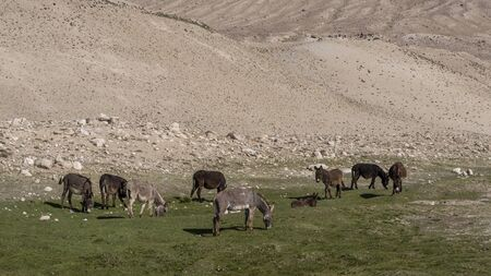 Reka Pamir River Valley with at the border of Tajikistan and Afghanistan with a herd of donkeys at the Pamir Highway in Tajikistan. Stock Photo