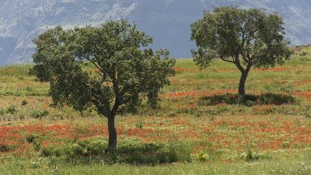 Two trees in an orange poppy field in the hills of Miyaneh, West Azerbaijan, Iran.