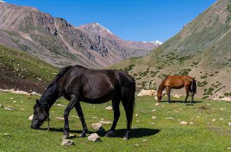 Horses in the great mountains of Kirgistan.