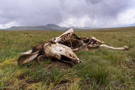 Dead horse near Son Kol in Kyrgyzstan on a green meadow wit mountains and foggy sky and clouds in the background.